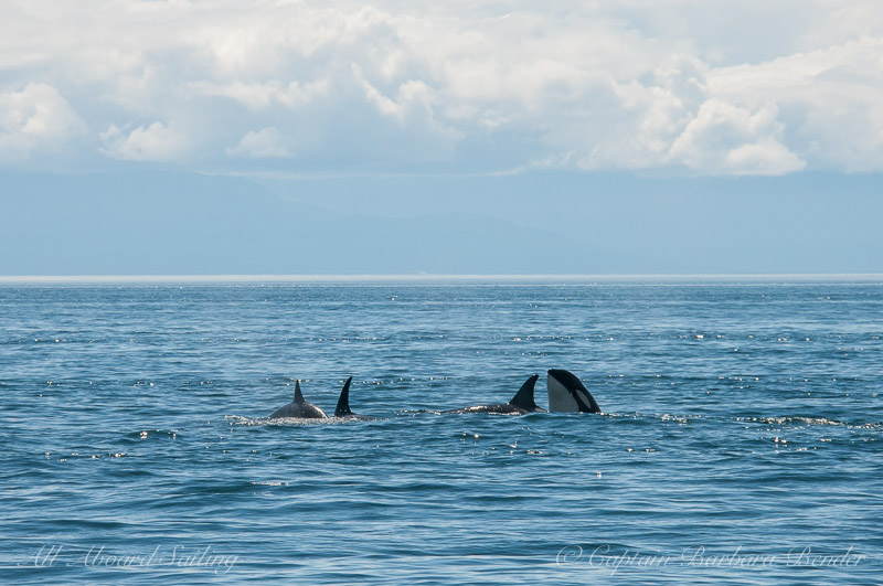 Playful group milling Southern Resident Killer Whales