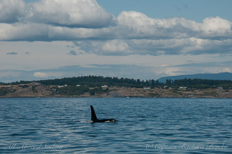L85 Mystery Southern Resident Killer Whale