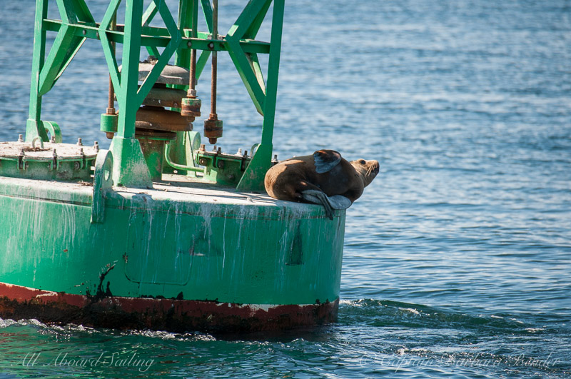 steller sea lion hauled out on Salmon Bank buoy