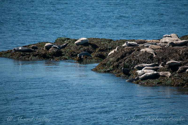 Harbor seals - late risers