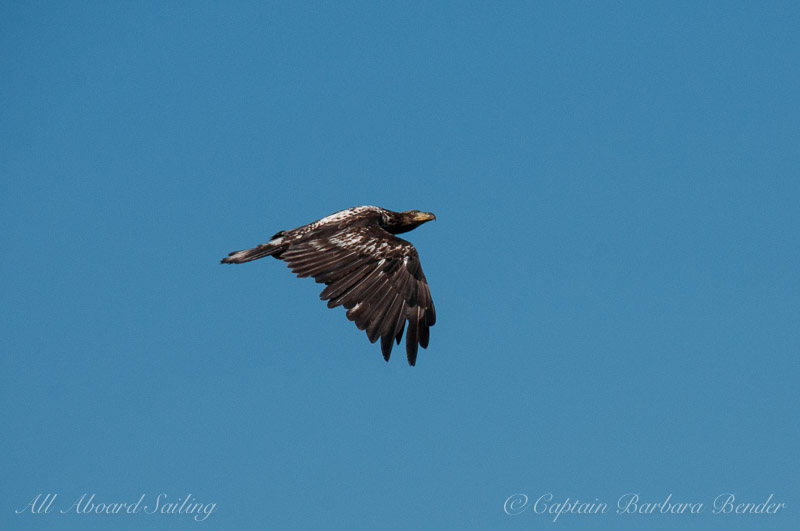 Sequence of Immature Bald Eagle in flight 1