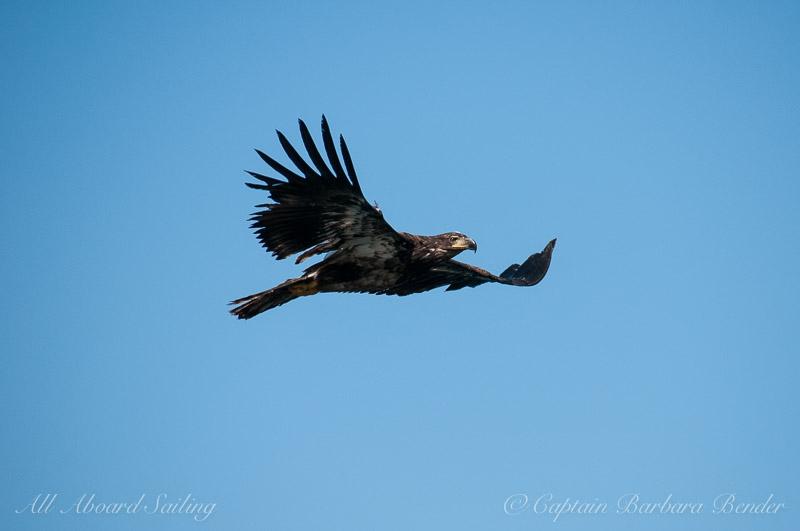 Immature Bald Eagle in flight 4