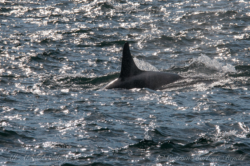Southern Resident Orcas L113