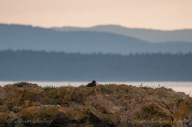 Black Oyster Catcher getting ready for bed