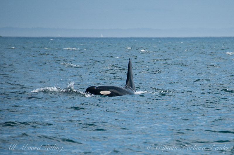 Southern Resident Orca J34 Doublestuf