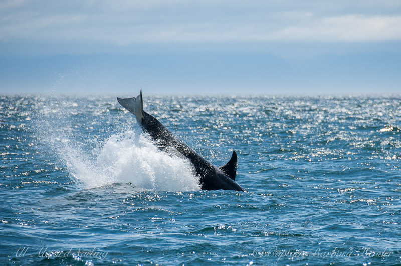 Orca J46 Star doing a cartwheel