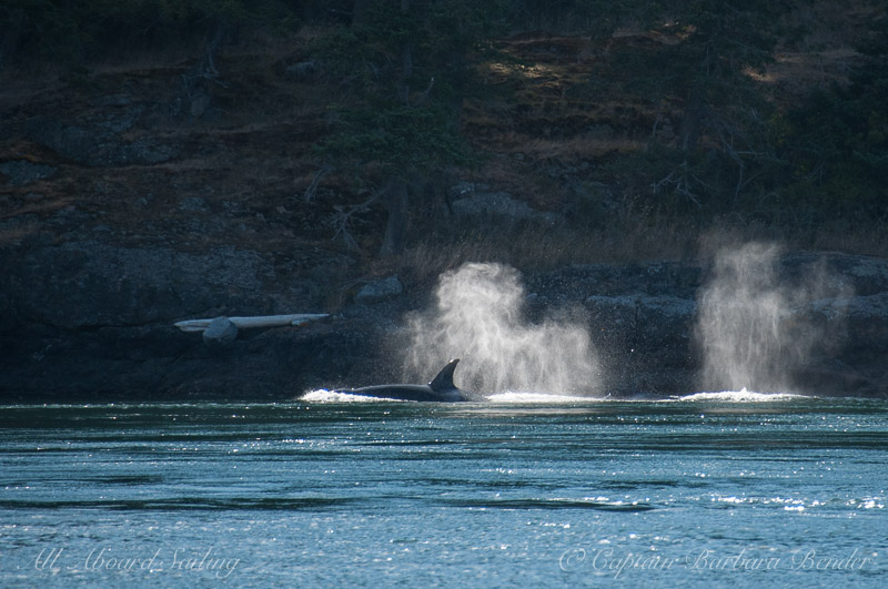 Backlit blows as Transient Orcas headed for Friday Harbor