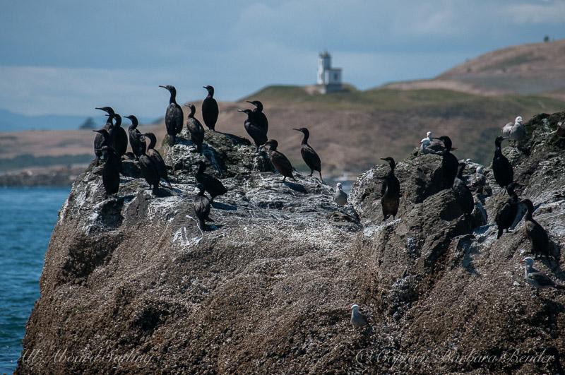 Pelagic Cormorants, Whale Rocks, with Cattle Point Lighthouse San Juan Island