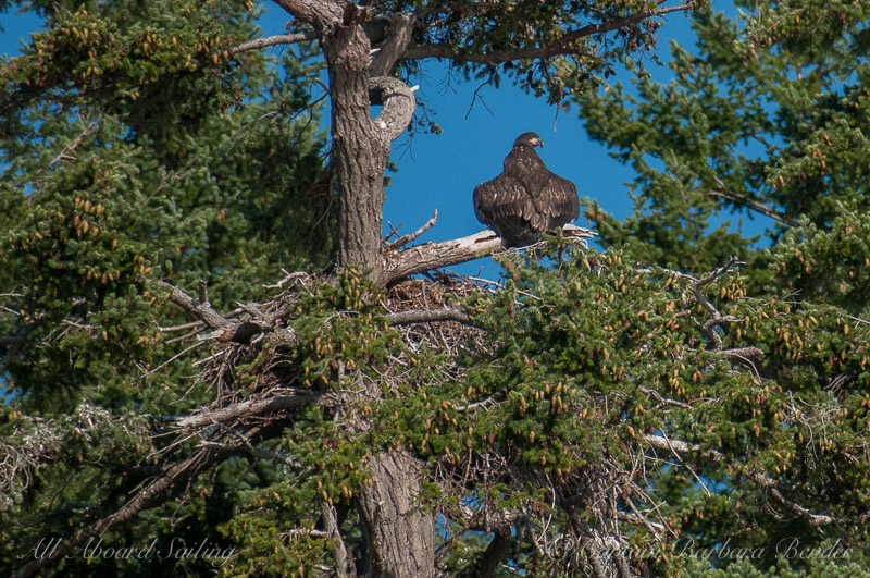 Young Bald Eagle Chick and Nest, Lopez Island