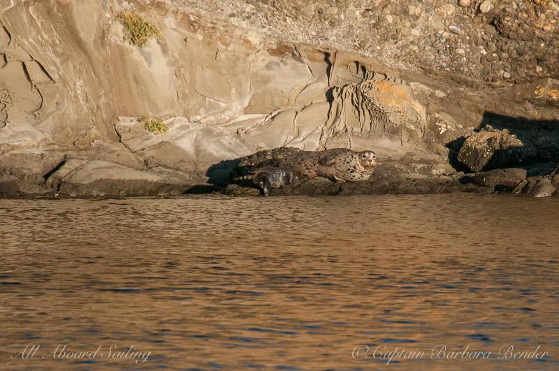 Harbor Seal and Pup, Spieden Island