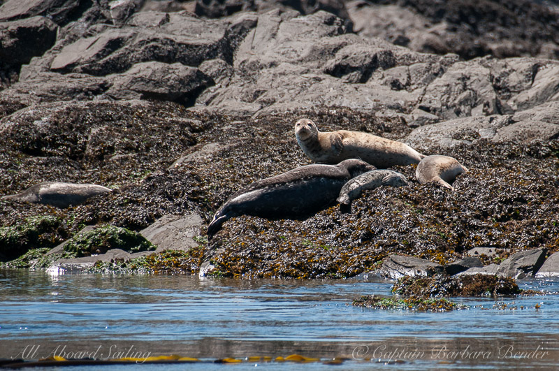 Harbor seals with pups