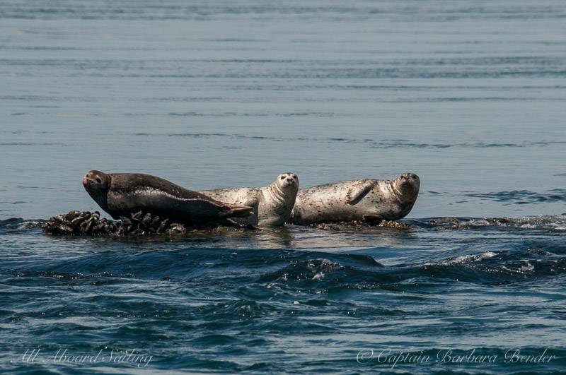 Harbor Seals on bed of mussels
