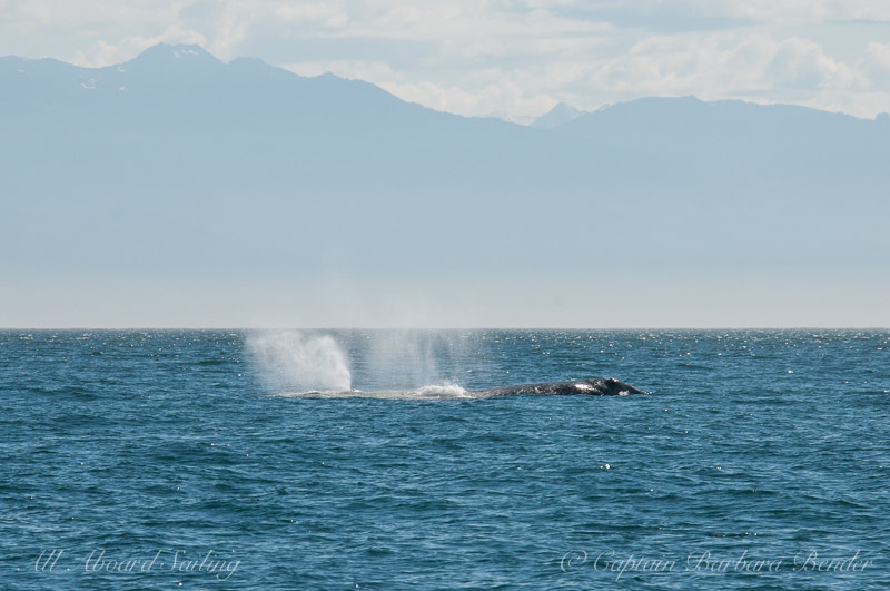Two blows of Grey Whales - Eschrichtius robust. South of Lopez Island in the San Juans