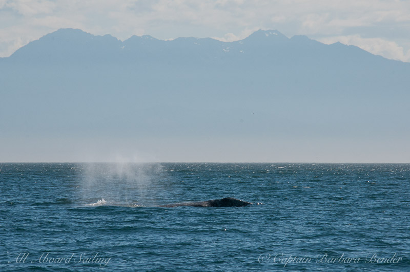 Grey Whale - Eschrichtius robustus. South of Lopez Island in the San Juans