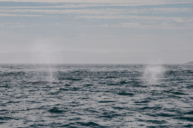 Blows of two Grey Whales - Eschrichtius robust./ South of Lopez Island in the San Juans