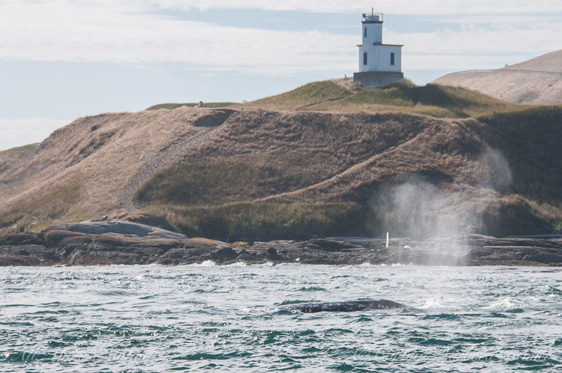 Grey Whale, Cattle Point Light, San Juan Island