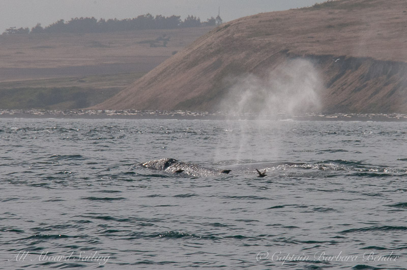 Grey Whale, South Beach, San Juan Island
