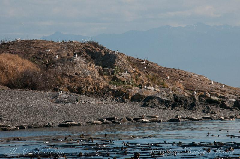Grey Whale - Eschrichtius robustus, San Juan Island