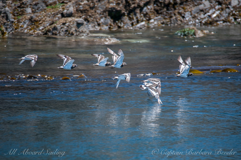 Phalaropes ?