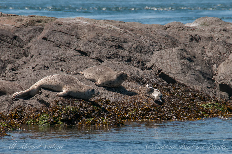 Harbor seal with young pup