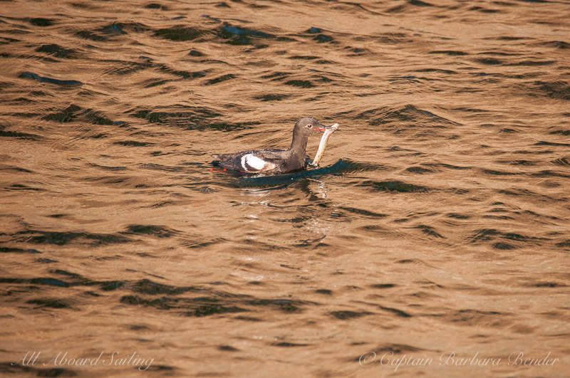 Pigeon Guillemot with fish