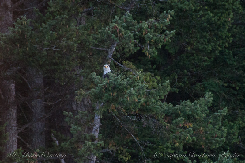 Bald Eagle in Douglas Fir