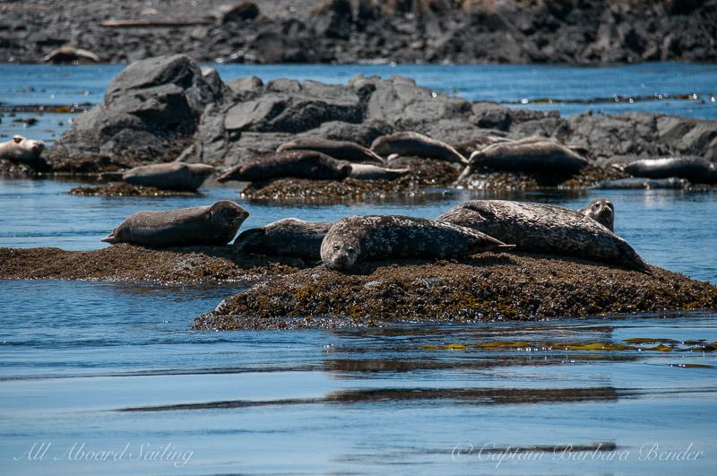 Harbor seals near Deadman's Island
