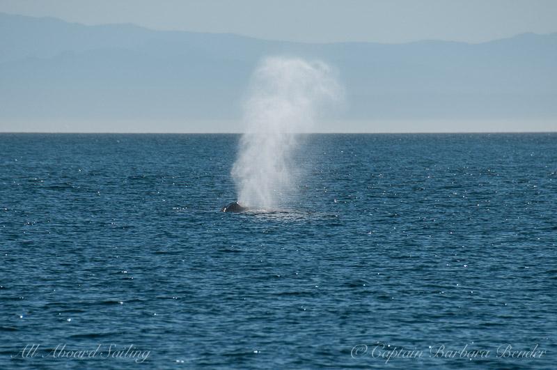 Humpback whale exhale