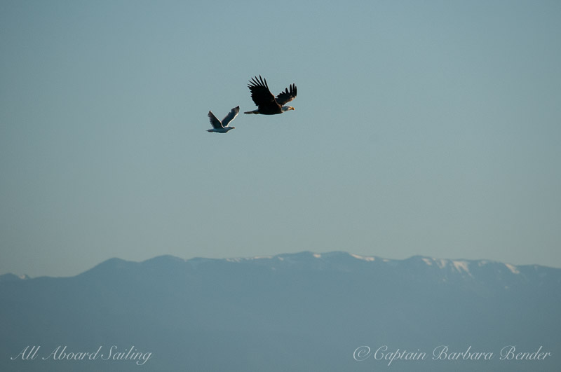 Gull chasing away bald eagle