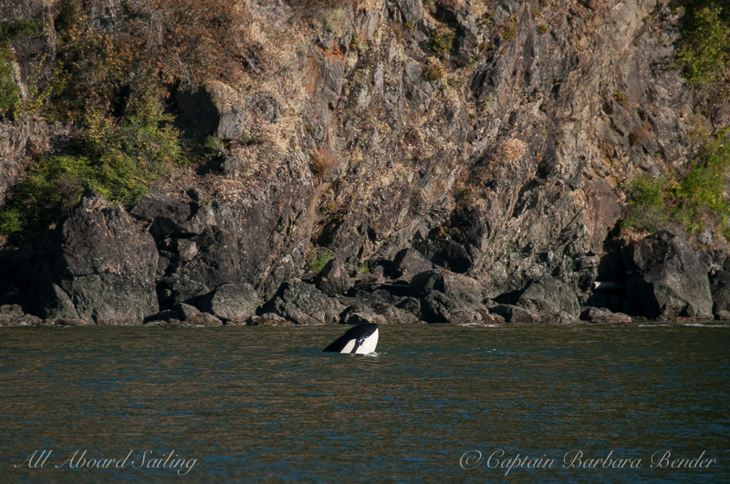 Transient Orca Spyhop In president s Channel, Orcas island