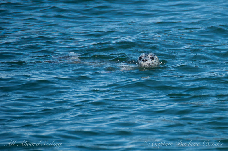 Harbor seal swims near