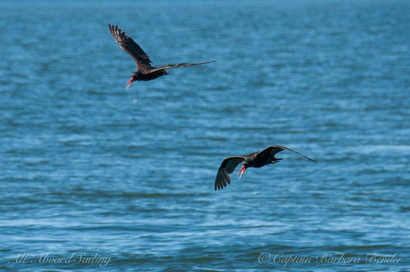 Pacific Oyster catchers calling in flight