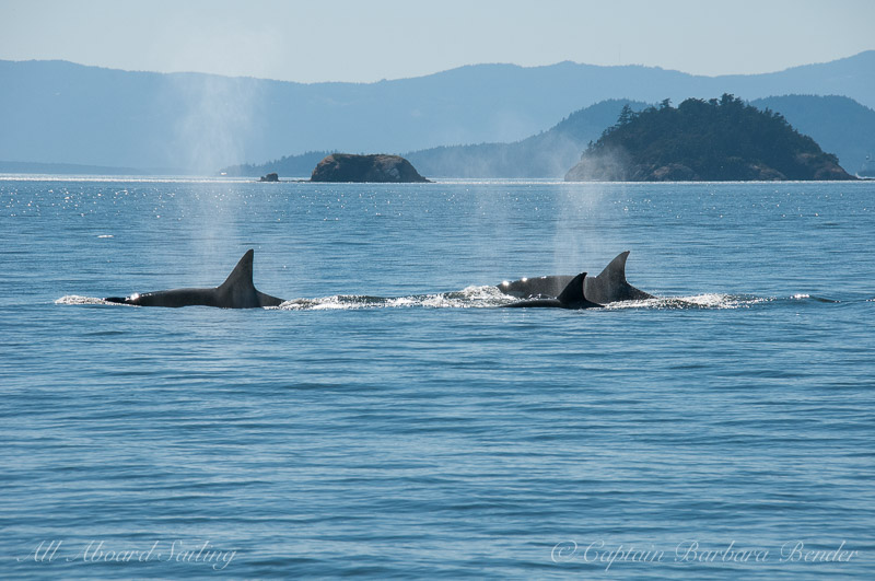 Transient Orcas T37, 37B, 34A
