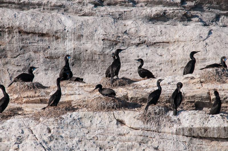 Brandt's Cormorants on Mandarte Island in breeding plumage with blue throat patch