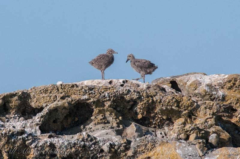 Glaucous winged gull chicks, Mandarte Island