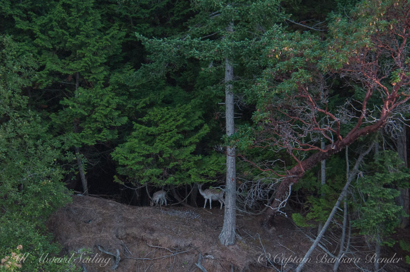 Fallow Deer in the forest of Spieden Island