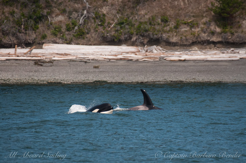 Meeting Transient orcas T65A's along Shaw Island