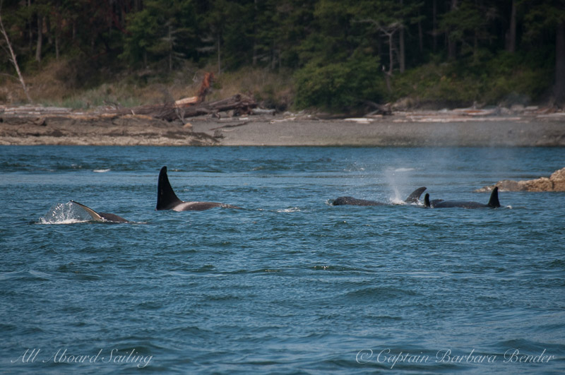 Sailing with whales T65A's hunting along Shaw shoreline
