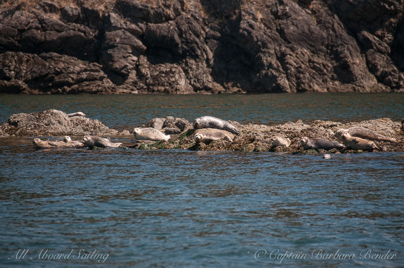 Harbor Seals watching the transients