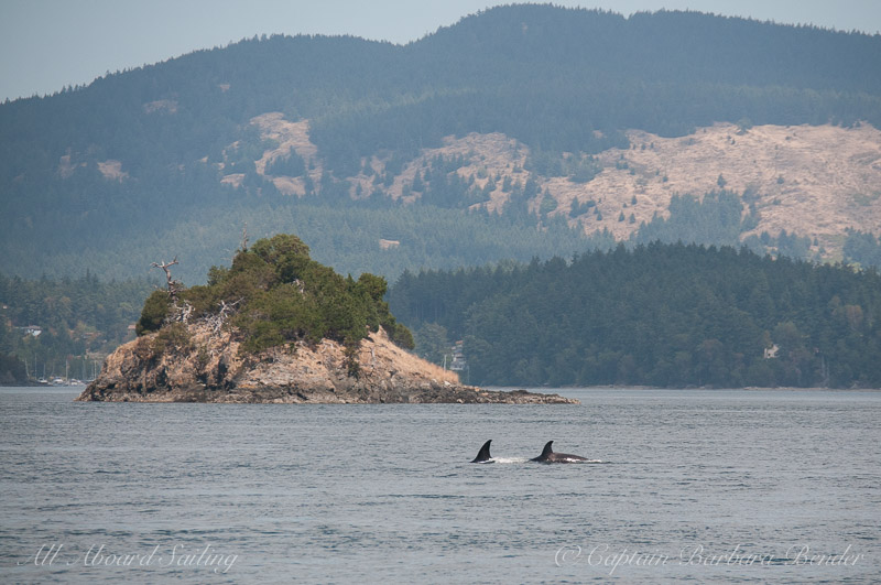 Sailing with transient whales T65A with T65A5 passing Nob Island