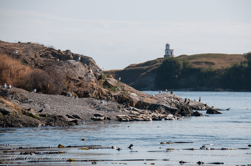 Harbor Seals hauled out - Cattle Point Lighthouse