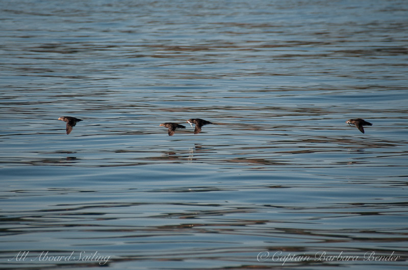 Rhinoceros auklets flying home with supper
