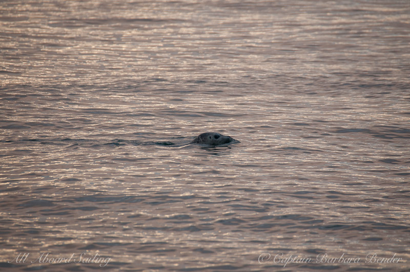 Harbor seal in sunset reflections