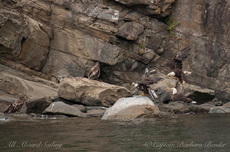 Five Bald Eagles