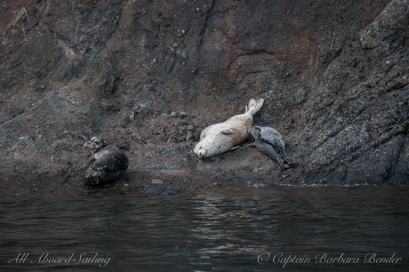 Harbor Seals and Pup