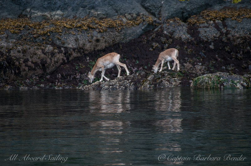 Mouflon Sheep Spieden Island