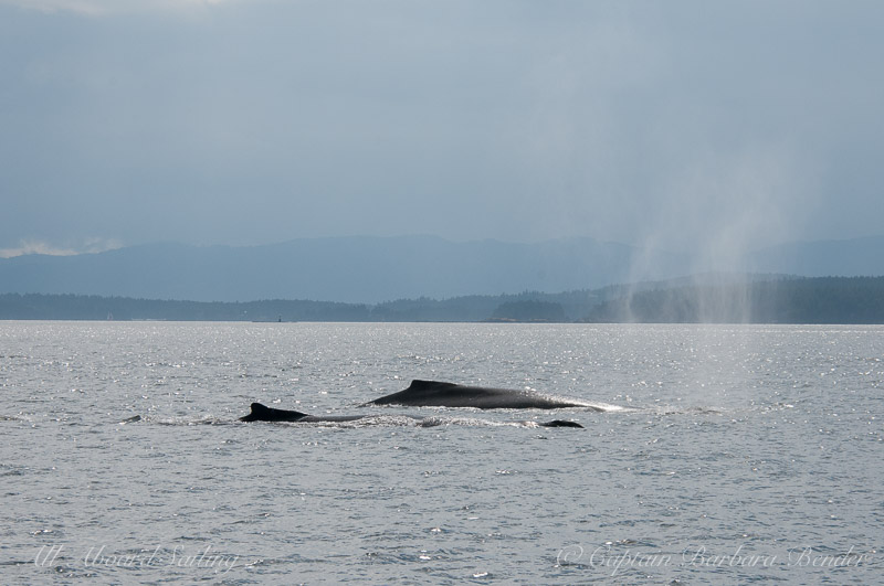 Three Humpback whales travel North in Swanson Channel