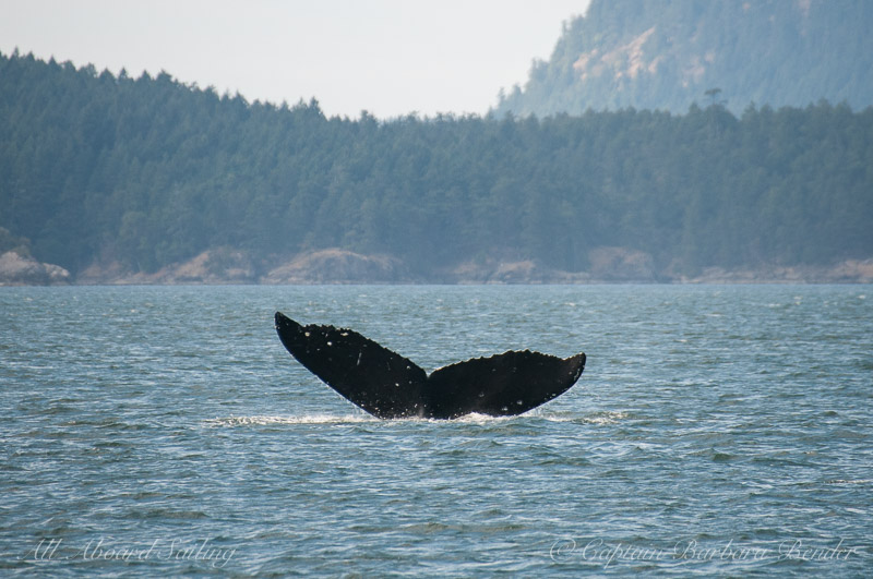 Humpback whale flukes with deep dive Swanson Channel, B.C. Canada