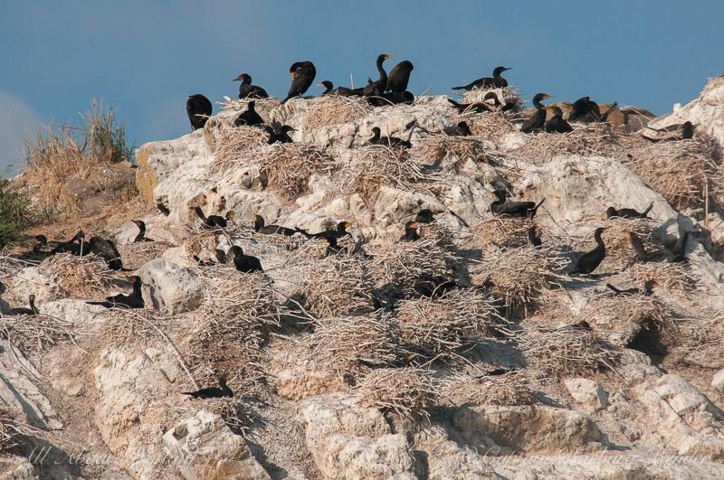 Mandate Island Cormorant Colony