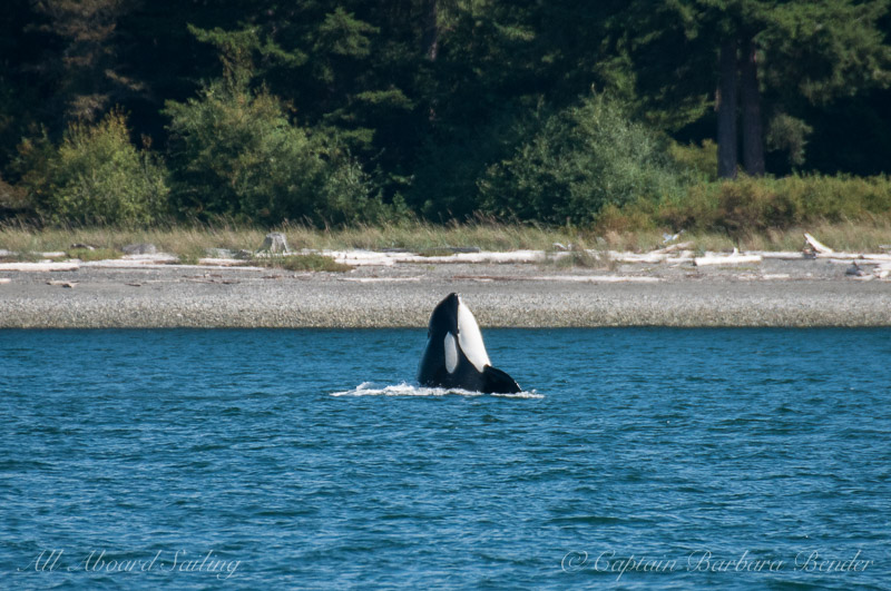 Transient Orca Spyhop